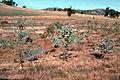 CSIRO ScienceImage 595 Trial Plantings of Eucalyptus Camaldulensis.jpg
