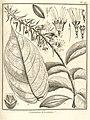 Cacoucia coccinea Aublet 1775 pl 179.jpg