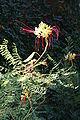 Caesalpinia Gilliesii 5719.JPG