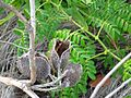 Caesalpinia bonduc (gray nicker) (Cayo Costa Island, Florida, USA) 2 (25831836182).jpg