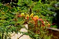 Caesalpinia gilliesii in Jardin des plantes de Montpellier 06.jpg