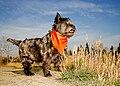 CairnSM01 terrier.jpg