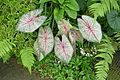 Caladium bicolor-Jardin des plantes de Nantes (3).jpg
