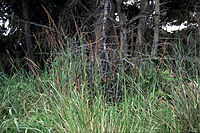 Calamagrostisnutkaensis.jpg