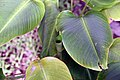 Calathea crotalifera 14zz.jpg