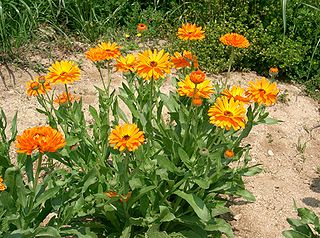 Hierbas fungicidas, plantas de condimentos, plantas medicinales 4