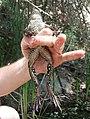 California red-legged frog (11360230686).jpg