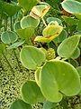 Calla palustris Leaves BotGardBln0806.JPG