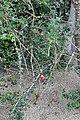 Calliandra purpurea.jpg