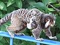 Callithrix jacchus-mother baby.jpg