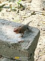 Calotes versicolor - The oriental garden lizard, Indian garden lizard, common garden lizard, bloodsucker.jpg