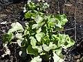 Caltha palustris 126678083.jpg
