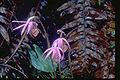 Calypso-orchid1web.jpg