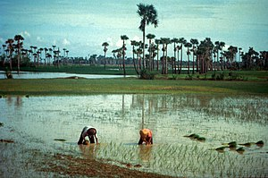 English: Rice farming in Cambodia