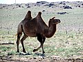 Camel Riding in Gobi Desert - Dornogovi Province - Mongolia (6248028169).jpg