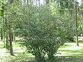 Camellia sinensis-habito.jpg
