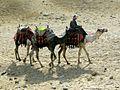 Camels at Gizaedit.JPG