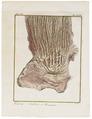 Camelus dromedarius - ingewanden - 1700-1880 - Print - Iconographia Zoologica - Special Collections University of Amsterdam - UBA01 IZ21600087.tif