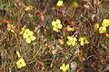 Camissonia campestris (field suncup).jpg