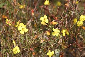 Camissonia campestris - Camissonia campestris near Gorman, California