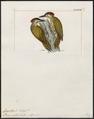 Campethera notata - 1820-1860 - Print - Iconographia Zoologica - Special Collections University of Amsterdam - UBA01 IZ18700285.tif