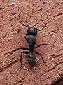Camponotus Montepulciano 02.jpg