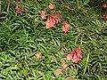 Campsis grandiflora-2-cubbon park-bangalore-India.jpg