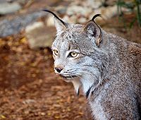 Râsul canadian (lynx canadensis)