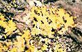 Candelaria concolor-3.jpg