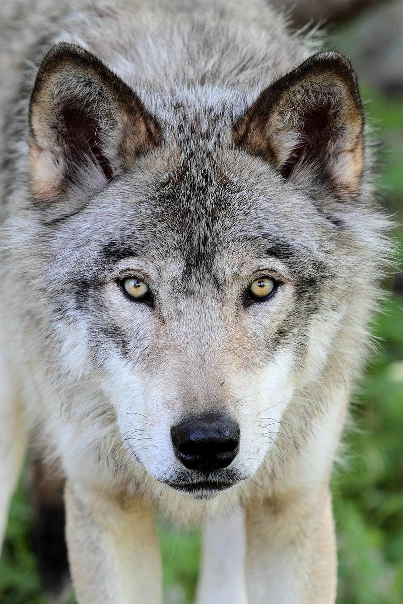 Loup du parc Oméga, à Montebello (Québec).  (définition réelle 3269×4904)