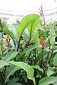 Canna edulis, Glasgow Botanic Gardens.jpg