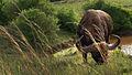 Cape Buffalo (8145244198).jpg