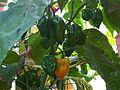 Capsicum annuum 1 - Kew.jpg