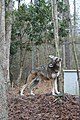 Captive male red wolf (7748108406).jpg