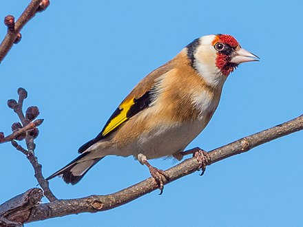 European Goldfinch Wikiwand