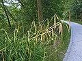 Carex pendula plant (32).jpg
