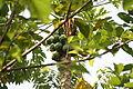 Carica papaya Bioko 2013.jpg