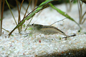 Description de l'image Caridina_japonica_08.jpg.
