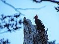 Carpintero Negro Parque Nacional Hornopirén 12.jpg