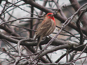House Finch (Carpodacus mexicanus) Purple finc...