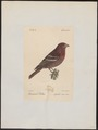 Carpodacus roseus - 1842-1848 - Print - Iconographia Zoologica - Special Collections University of Amsterdam - UBA01 IZ16000333.tif