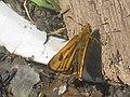 Carterocephalus silvicola - Northern chequered skipper - Сильвий (26130978377).jpg
