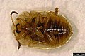 Cassida flaveola (26130875289).jpg