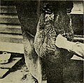 Castrating and docking lambs (1920) (14785065275).jpg