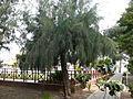 Casuarina equisetifolia 0002.jpg
