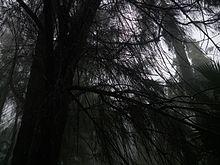 Casuarina Equisetifolia