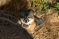 Catalina Island Fox (Urocyon littoralis catalinae) in evening.jpg