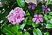 Catharanthus roseus and Rosa indica, West Bengal, India 20120903.jpg