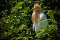 Cattle Egret (74877219).jpeg