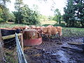 Cattle at a feeder, County Fermanagh.jpg